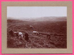 Photo Albuminée - Ecosse - Orcades - Paysans Aux Champs - Vaches - Tourbes - Animée - 1890 - Antiche (ante 1900)