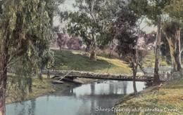 Postcard Sheep Crossing An Australian Creek PU 1908 Farming Interest To Mrs Bennison In Chorley  My Ref  B13254 - Breeding