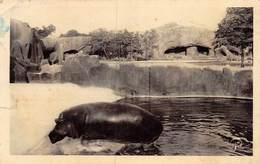 PIE.LOT CH-19-4748 : HIPPOPOTAME ZOO DE VINCENNES. - Hippopotamuses