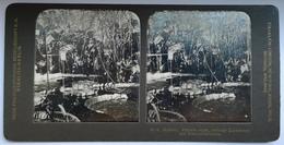 PHOTO STEREOSCOPIC STEREO BOTANIK VIKTORIA  REGIA DAHINTER ZUCKERROHR UND ELEPHANTENOHREN - Stereo-Photographie
