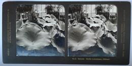 PHOTO STEREOSCOPIC STEREO BOTANIK WEISSE LOTOSBLUME , BLÜHEND , BERLIN - Stereo-Photographie