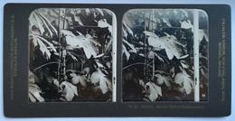 PHOTO STEREOSCOPIC STEREO BOTANIK MANIHOT (LIEFERT TAPIOCAMEHL.), BERLIN - Stereo-Photographie