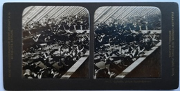 PHOTO STEREOSCOPIC STEREO BOTANIK JUNGE NYMPHÄACEEN - Stereo-Photographie