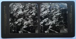 PHOTO STEREOSCOPIC STEREO BOTANIK BAUMWOLLE , BLÜHEND - Stereo-Photographie