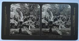 PHOTO STEREOSCOPIC STEREO BOTANIK BANANEN - Stereo-Photographie
