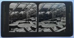 PHOTO STEREOSCOPIC STEREO BOTANIK VIKTORIA  REGIA NACH 13 WOCHEN - Stereo-Photographie