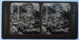 PHOTO STEREOSCOPIC STEREO BOTANIK PALMEN UND FARNE - Stereo-Photographie