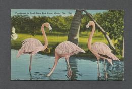 ANIMAUX - ANIMALS - BIRDS - OISEAUX - FLAMINGOS IN POOL RARE BIRD FARM - MIAMI FLORIDA - Oiseaux