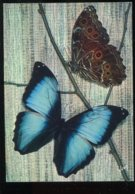 CPM Animaux Papillons Exotiques Le MORPHO DEIDAMIA ( Guyane ) - Insectes