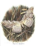 19/5 Papillons Vlinders THYSANIA AGGRIPINA  Chromos Delhaize 25,5 X 19,5 CM - Chromos