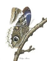 Papillons Vlinders CALIGO ATREUS  Chromos Delhaize 25,5 X 19,5 CM Coin Inferieur Gauche Plie - Vieux Papiers