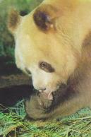 China - DAN DAN, Famous Brown Giant Panda At Xi'an Zoo, Shaanxi - Ours