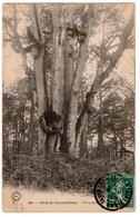 SEINE & MARNE * FORET DE FONTAINEBLEAU * BOUQUET DE LISETTE * édit. Siron, Barbizon - Trees