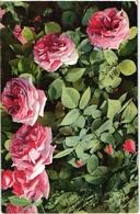 CPA FANTAISIE FLEURS -  VUE RAPPROCHEE D UN ROSIER AVEC ROSES ROSES ECLOSES ET D AUTRES EN BOUTONS - Flowers