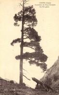 CORSE - Région De CORTE - Un Pin Géant Sur Le Contrefort Du Monte Rotondo - Cliché E. Breteau 1919 - Corte