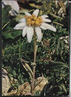 STELLA ALPINA - PETALI BIANCHI IN STOFFA - VIAGGIATA 1978 - Cartoline