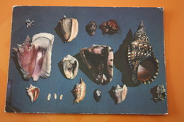 Antilles / SHELL - Seashell - Old Postcard - - Poissons Et Crustacés