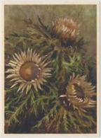 Stengellose Eberwurz - Fleurs