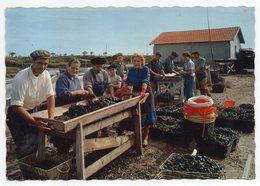Port De BROUAGE --1972---Scène De Mytiliculture ; Le Triage Des Moules  ( Très Animée ).............à Saisir - France