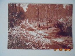 Cote Atlantique. Chemin Forestier Au Printemps. Les Genets. Europ 3339 - France