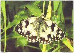 Tiere / Animals / Animaux: Damenbrett / Schachbrett (D-A264) - Butterflies