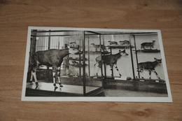 9764-   TERVUEREN, MUSEE DU CONGO BELGE, L'OKAPI - Tervuren