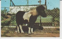 Postcard - Shetland Pony, Cromer Zoo - Card No.r.44 -  Unused Very Good - Unclassified