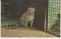 Postcard - African Leopard, Cromer Zoo - Card No.r.41 -  Unused Very Good - Unclassified