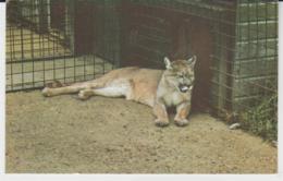 Postcard - Puma, Cromer Zoo - Card No.r.42 -  Unused Very Good - Unclassified