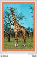 A682 / 553 Girafe - Animaux & Faune
