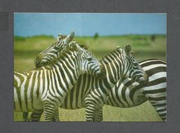 ANIMAUX - ANIMALS - BURCHELL'S ZEBRA - ZÈBRE - PHOTO FERRARI - Zèbres