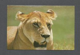 ANIMAUX - ANIMALS - LIONESS NGORONGORO CRATER - LION - PHOTO NEIL BAKER - Lions