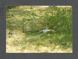 ANIMAUX - ANIMALS - CHEETAHS FEASTING ON A GAZELLE - GUÉPARDS - PHOTO KCL - Lions