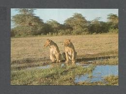 ANIMAUX - ANIMALS - LIONESSES - LIONS - PHOTO POLO - Lions