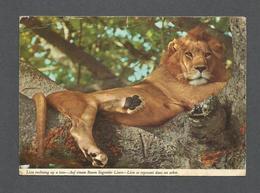 AFRICA - AFRIQUE - ANIMALS - ANIMAUX - LION SE REPOSANT DANS UN ARBRE - PHOTO  BY JOHN HINDE - Cartes Postales