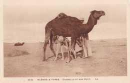 AQ30 Ethnic - Scenes Y Types, Chamelle Et Son Petit - LL - Africa