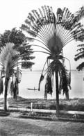 AFRIQUE NOIRE - CONGO Brazzaville : ARBRE Du VOYAGEUR - CPSM Dentelée N/B PF - Black Africa Tree Bome Boom Albero árbol - Brazzaville