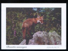 CPM Neuve Animaux RENARDEAU Découvrant La Vie - Tierwelt & Fauna