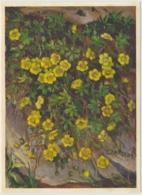 Fingerkraut - Fleurs