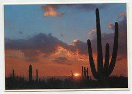 USA - AK 350172 Arizona - Saguaros At Sunset - Etats-Unis