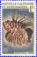 Brachyrus Zebra (Poisson) - Nouvelle Calédonie -1959 - Nouvelle-Calédonie