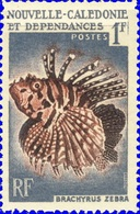 Brachyrus Zebra (Poisson) - Nouvelle Calédonie -1959 - New Caledonia