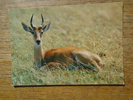 Faune Africaine , Antilope - Cartes Postales