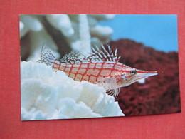 Long Nose Hawkfish Oxvcirrhites Typus  >> Ref 3378 - Fish & Shellfish