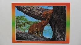 CPA ::Afrique > Kenya : Léopard - Kenya
