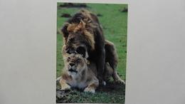 CPA ::Afrique > Kenya : Lions - Kenya
