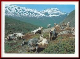 ★★ GEITER. TISLEIDALEN. OPPLAND NORD AURDAL ★★ HERD Of GOADS, TISLEIDALEN. NORWAY ★★ - Norway