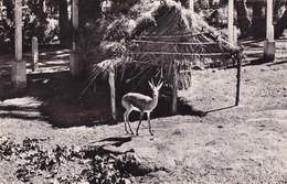 COLOMB-BECHAR - Gazelles - Jardin De La Palmeraie - Bechar (Colomb Béchar)