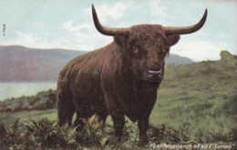 I AM MONARCH OF ALL I SURVEY - Cows