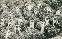 SRI LANKA (Ceylon)   Pluckers At Work - Good Ethnic Etc - Sri Lanka (Ceylon)